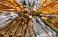 Пушно-меховой полуфабрикат